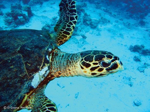 Sea turtles are plentiful in the Red Sea Courtesy of elgouna.com